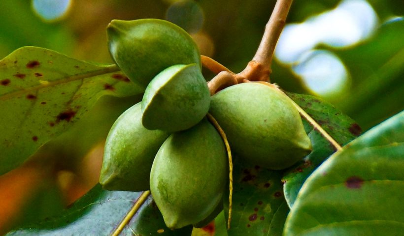 almond fruit for natural skin cream