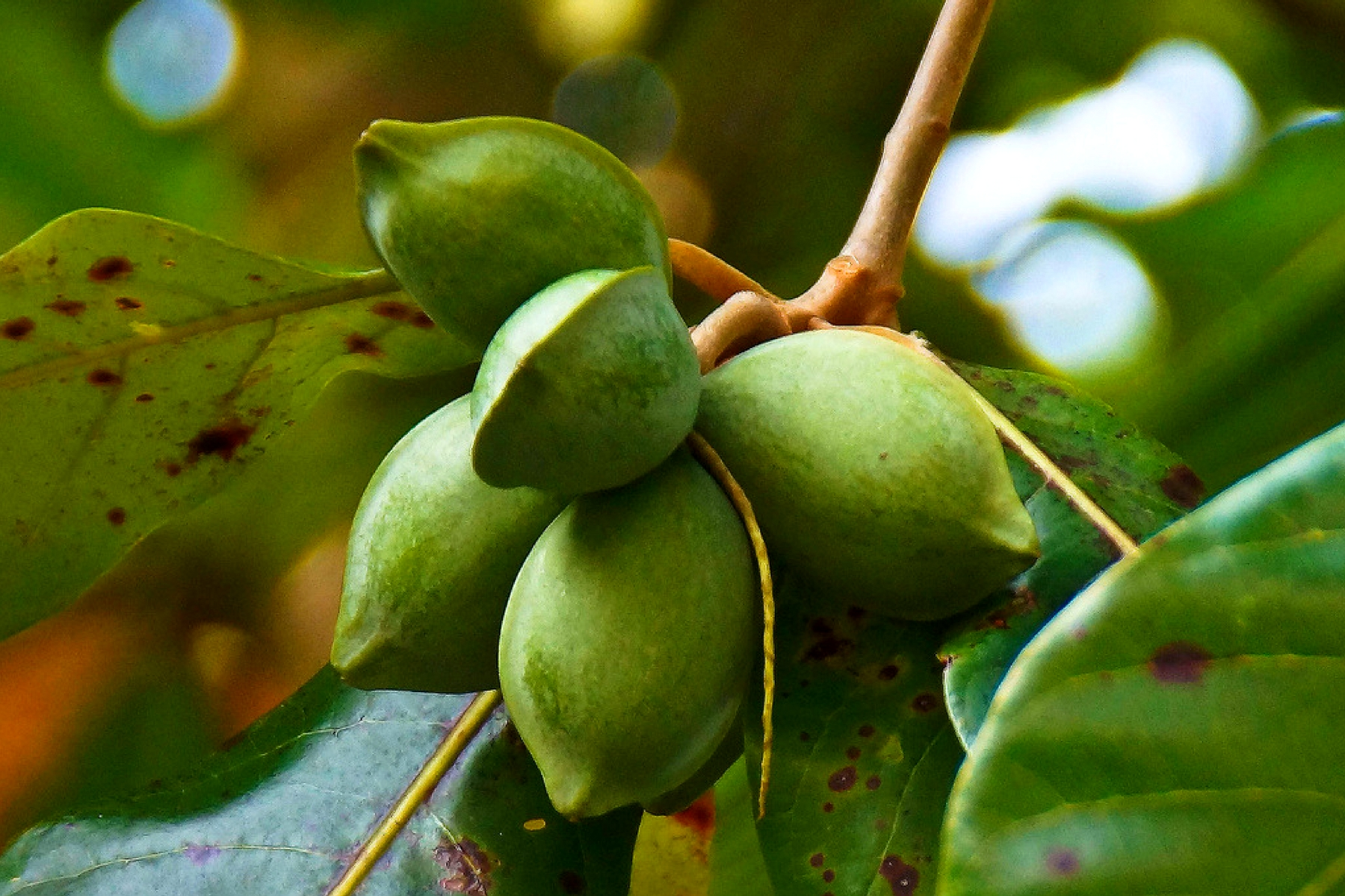 almond fruit for natural skin cream